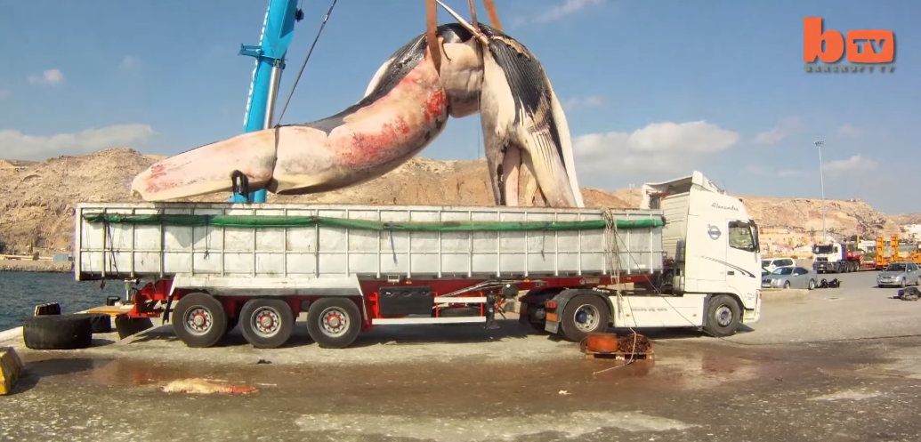 balena de 35 tone urcata in tir 1
