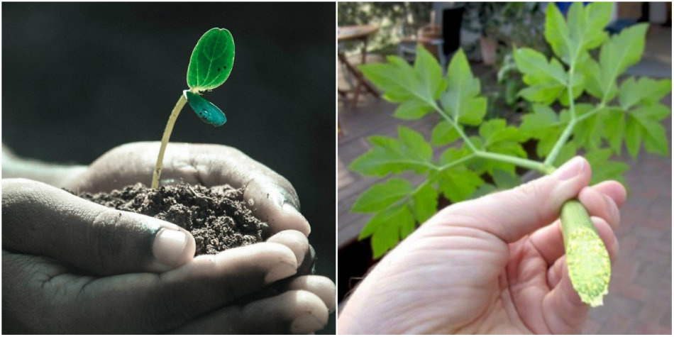 Elixirul tineretii, descoperit intr-o planta (4)