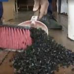 Milioane de muste au invadat un sat!