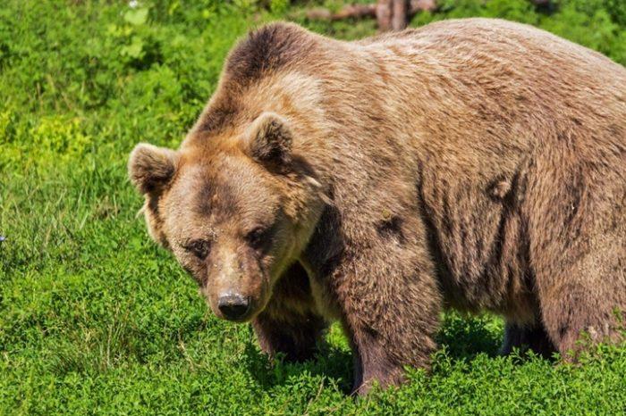 Încă o victimă a unui urs în localitatea Victoria din județul Brașov: un băiețel de 3 ani