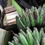Bananele, pe cale de disparitie