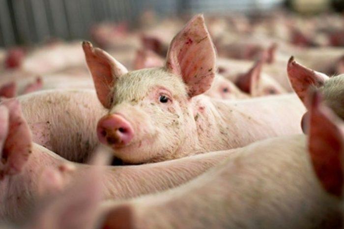 Numărul focarelor de pestă porcină a crescut la 1.185, în 346 de localități, de la 1.108 focare