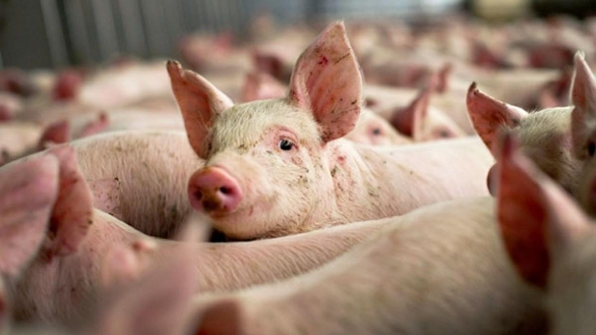 Numărul focarelor de pestă porcină a crescut